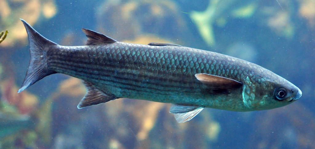 kefal balığı