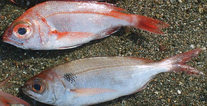 Manda Göz Balığı | Kızıl Denizden Geldi Mersinde Yakalandı