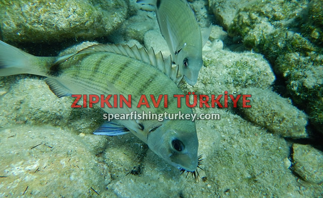 sargoz balığı sarkoz