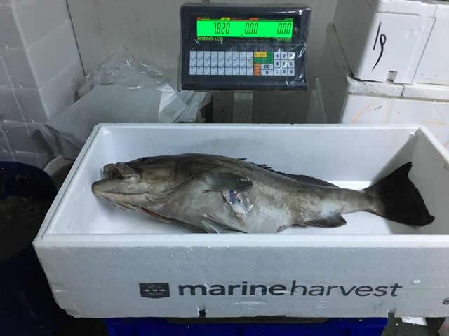 grida balığı zıpkınla grida avı