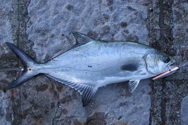 liça balığı