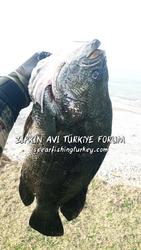 yaprak balığı uc kuyruk balığı