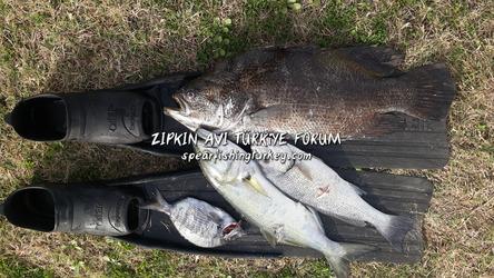 yaprak balığı lüfer balığı üç kuyruk balığı